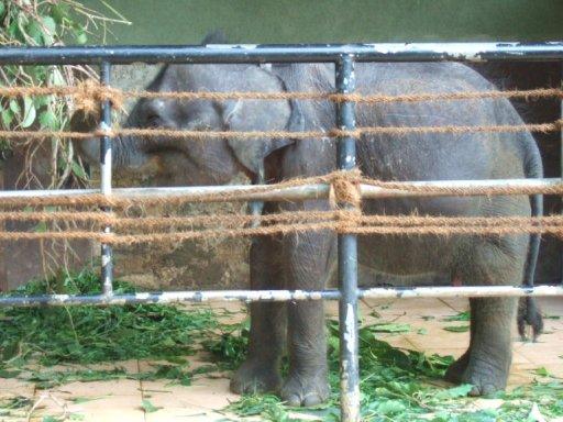 生後数ヶ月のゾウ02
