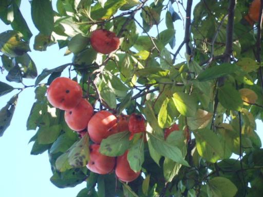 世田谷の柿